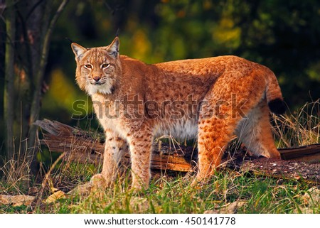 Wild cat in the forest. Lynx in the nature forest habitat. Eurasian Lynx in the forest, birch and pine forest. Lynx standing on the green moss stone. Cute lynx, wildlife scene from nature, Germany - stock photo