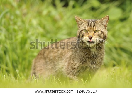 Wild cat in the green grass