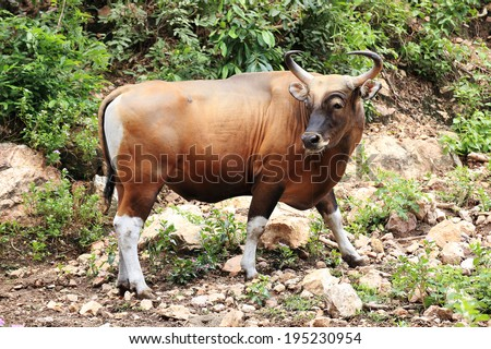 Wild Cattle walking on the hill - stock photo