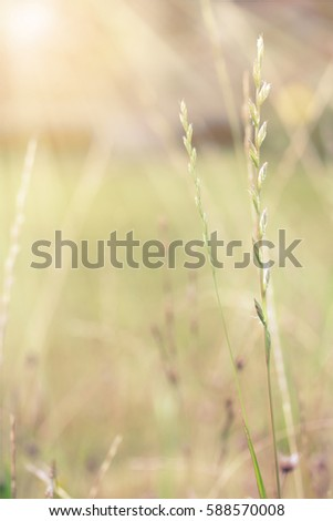 Wild cereal panicles in the garden, late summer, macro