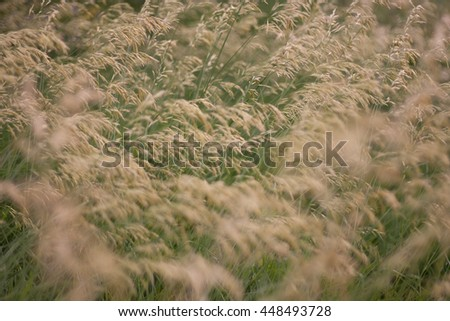 Wild cereal plants (shallow depth of field) - stock photo