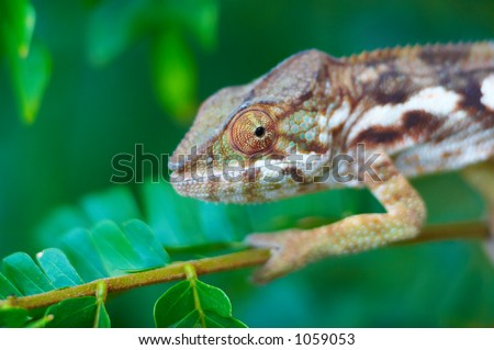 Wild chameleon, Madagascar - stock photo