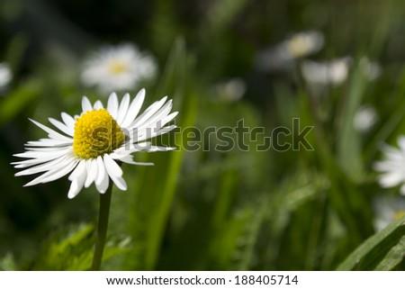 Wild chamomile - stock photo