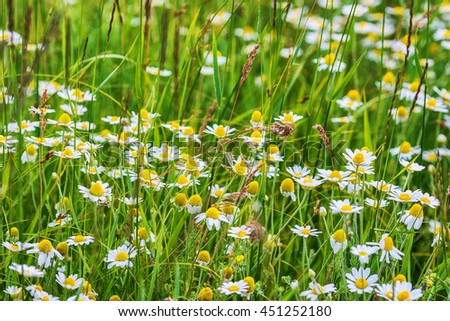 Wild chamomile flowers  - stock photo