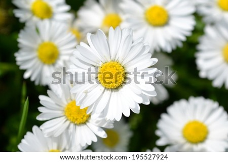 Wild chamomile flowers and leaves