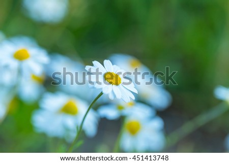 Wild Chamomile flowers growing on meadow.Natural flowers background - stock photo
