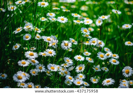 Wild chamomile flowers on a field on a sunny day. shallow depth of field - stock photo