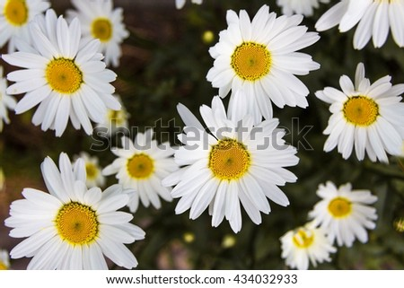wild chamomile flowers on a meadow on a sunny day