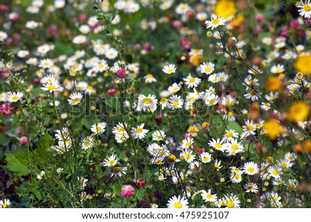 wild chamomile flowers on summer field Sunny day in good weather