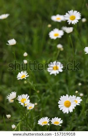 Wild chamomile  in the nature - stock photo