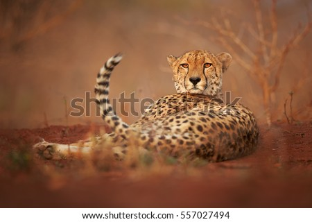 Wild Cheetah, Acinonyx jubatus, relaxing on reddish soil, staring directly at camera. Ground level photography.  Typical KwaZulu Natal's dry forest environment. Zimanga, South Africa.