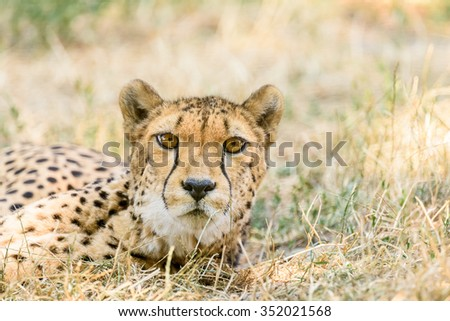 Wild Cheetah In Africa Savannah - stock photo