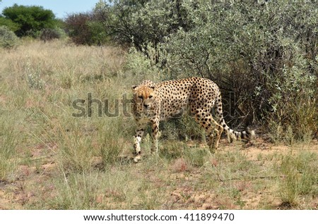 Wild Cheetah In African Savannah, Namibia - stock photo