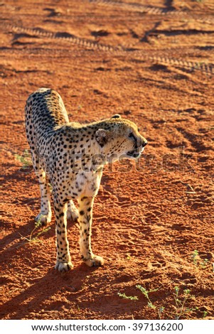 Wild Cheetah In the Kalahari desert sunset backlight. African Savannah, Namibia. Warm evening light - stock photo