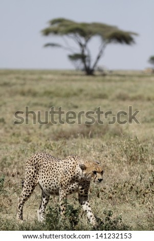 Wild cheetah walking with acacia tree on the background