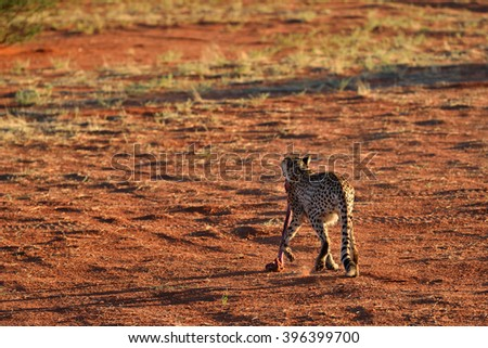 Wild Cheetah with a prey in the Kalahari desert at sunset. African Savannah, Namibia. Warm evening light - stock photo