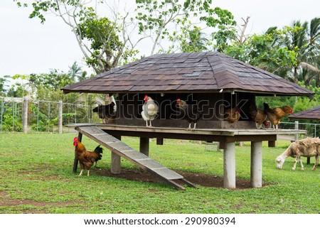 wild chicken in a chicken coop - stock photo