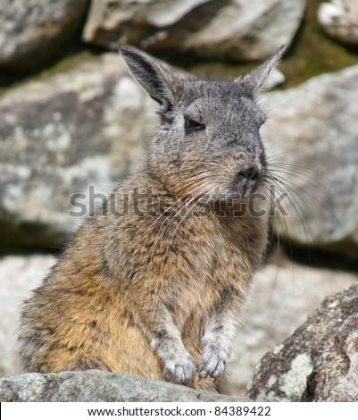 Wild Chinchilla in the rocks - stock photo