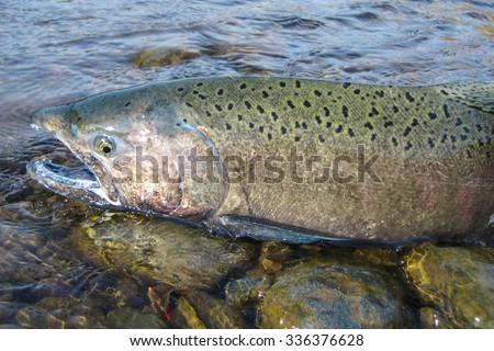 Wild chinook Salmon in Idaho - stock photo