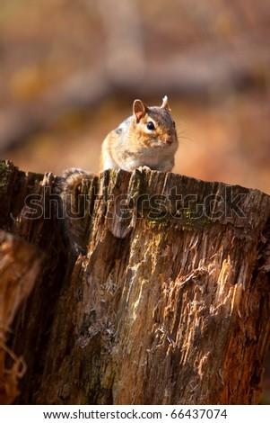 Wild Chipmunk On Log In Wisconsin - stock photo