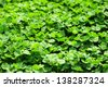 wild clover - stock photo