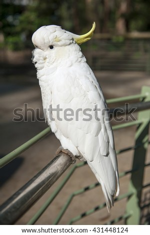 Wild cockatoo on a green background. Seen in Dandenong Ranges national park, Victoria - Australia - stock photo