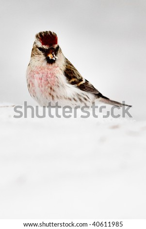Wild Common Redpoll (Carduelis flammea) - stock photo