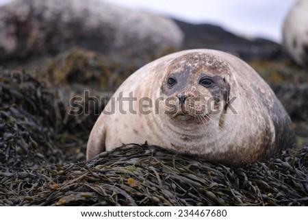 Wild Common Seal - stock photo