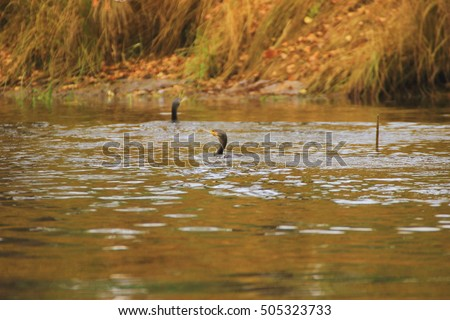 wild cormorant stuck his head out from under the water, under water he was fishing, and examines the environment