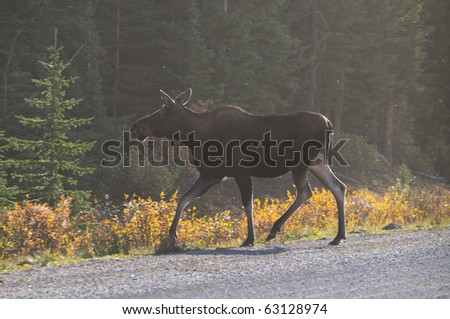 Wild Cow Moose on a dusty road in autumn, Spray Valley Provincial Park in Kananaskis Country Alberta Canada - stock photo