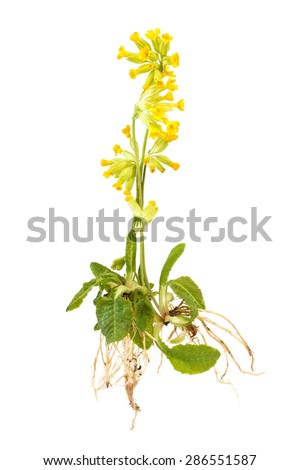 Wild cowslip with roots isolated on white background
