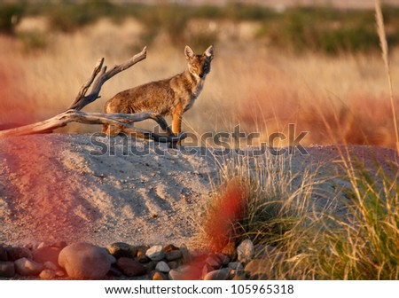 Wild coyote at sunrise in xeriscape  Arizona,United States/Wild Coyote (Canis latrans) on Small Rural Hill in Desert Southwest of North America/Coyote in desert Southwest USA - stock photo