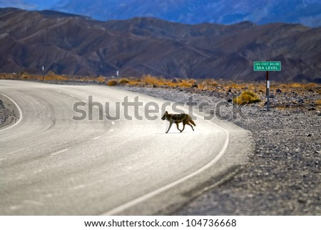 Wild Coyote crossing the road in Death Valley - below sea level sing in the background - stock photo