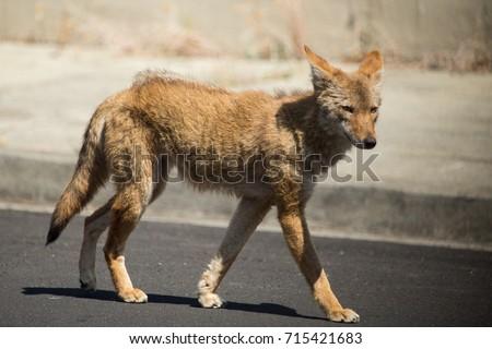 Coyote Stock Images RoyaltyFree Images Vectors Shutterstock