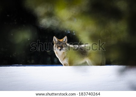 Wild Coyote in a field of snow, Banff National Park Alberta Canada - stock photo