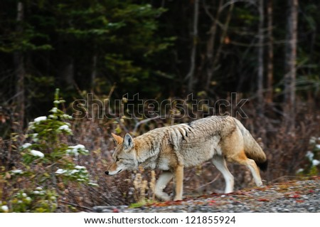 Wild Coyote in a snow covered forest, Kananaskis Country, Alberta Canada - stock photo