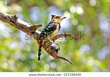 Wild crested barbet - stock photo