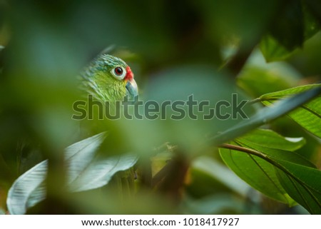 Wild Crimson-fronted or Finsch's Parakeet, neotropical green parrot with red cap and eyes, natural to Nicaragua, Costa Rica and Panama, hidden among leaves in rainforest, staring directly at camera.