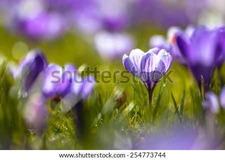 Wild crocus (Crocus tommasinianus) blooming in a back lit garden lawn in the first sun rays in spring - stock photo