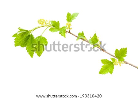 wild currant flowering isolated on white