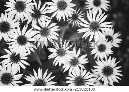 Wild daisies. Black and white photo. - stock photo