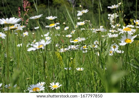 wild daisies growing on transylvanian meadow in summer