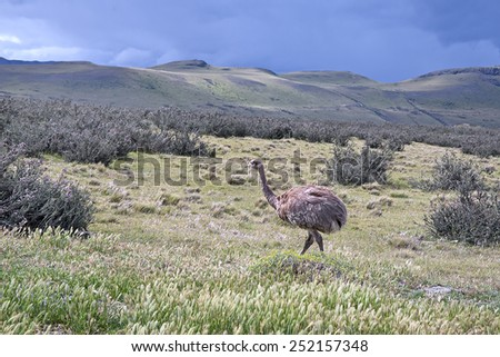 Wild Darwin's Rhea in a national park Torres del Paine, Chile