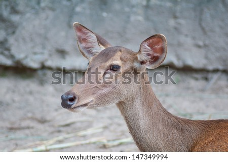 Wild dear, close up view. - stock photo