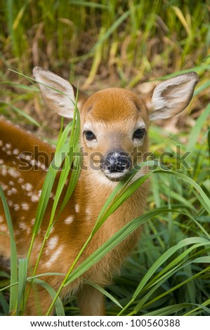 Wild Deer Fawn - stock photo