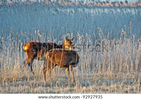Wild deer grazing in winter at dawn