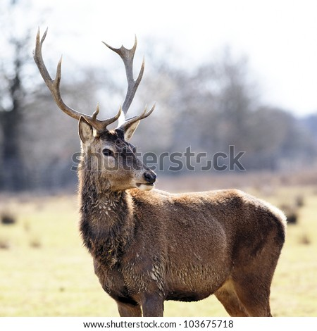 wild deer in alert in a meadow in spring - stock photo