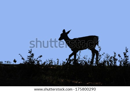 Wild Deer in silhouette on a hill at dusk. - stock photo