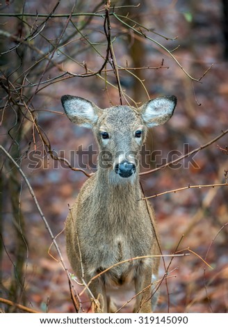 Wild Deer in the wilderness of Maryland during Autumn - stock photo