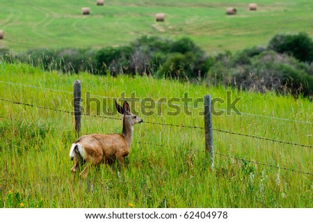 Wild Deer jumping a fence through Alberta farmland - stock photo